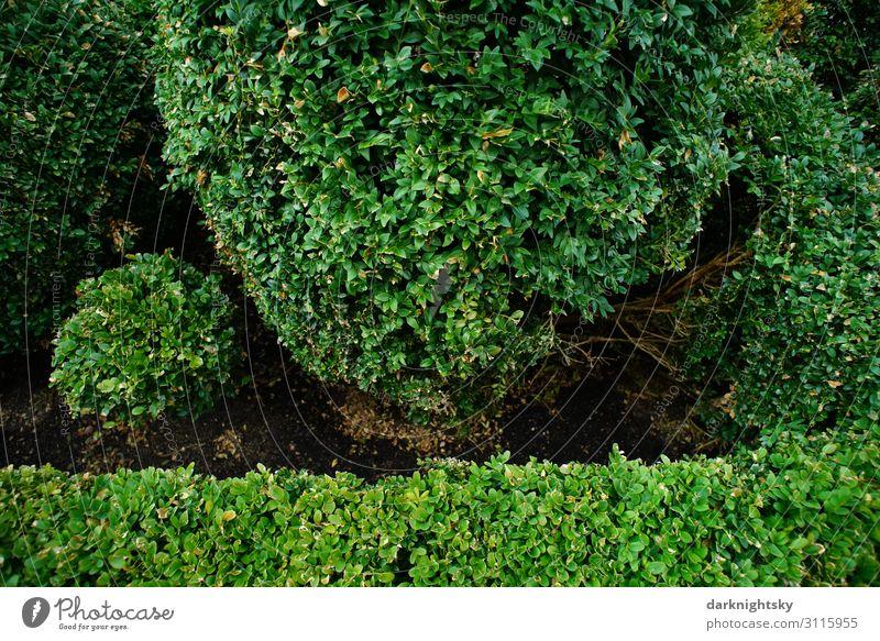 Buxus sempervirens Stil Design Natur Pflanze Sommer Schönes Wetter Blatt Grünpflanze Buchsbaum Garten Park Menschenleer historisch schön rund grün Romantik