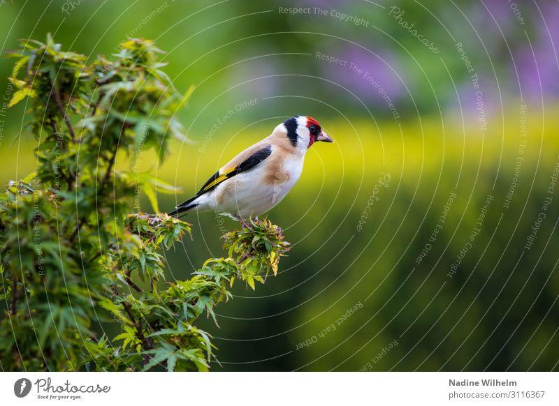 Stieglitz Altvogel Tier Wildtier Vogel Flügel 1 hocken sitzen stehen frei frisch niedlich Wärme mehrfarbig gelb grün rot schwarz weiß ruhig Freiheit Perspektive
