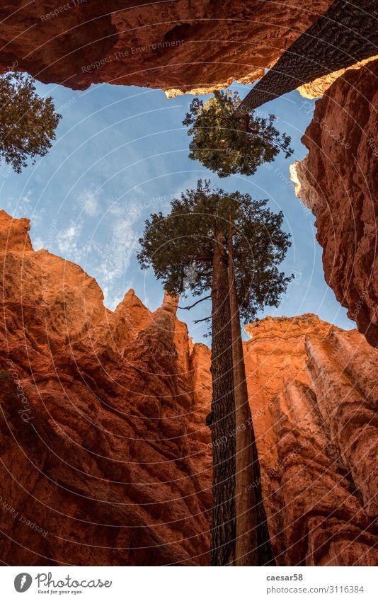 Lebenswillige Bäume in Schlucht, Bryce Canyon, Utah/USA Tourismus Ferne Natur Landschaft Himmel Baum Felsen Berge u. Gebirge Ferien & Urlaub & Reisen wandern