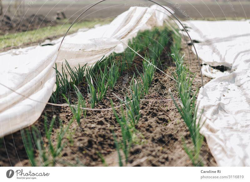 Zwiebeln auf dem Acker Pflanze grün weiß Umwelt natürlich braun Feld Erde Wachstum Beginn Blühend Kräuter & Gewürze Gemüse Landwirtschaft Vegetarische Ernährung