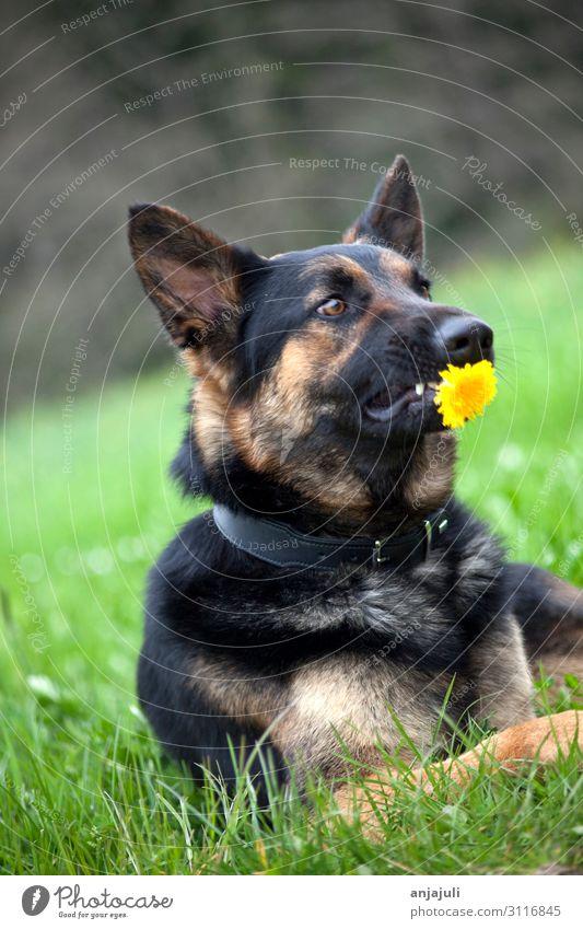 Deutscher Schäferhund mit Blume Hund hunde blume halten schenken lustig witzig humor schäferhund deutscher Schäferhund haustier