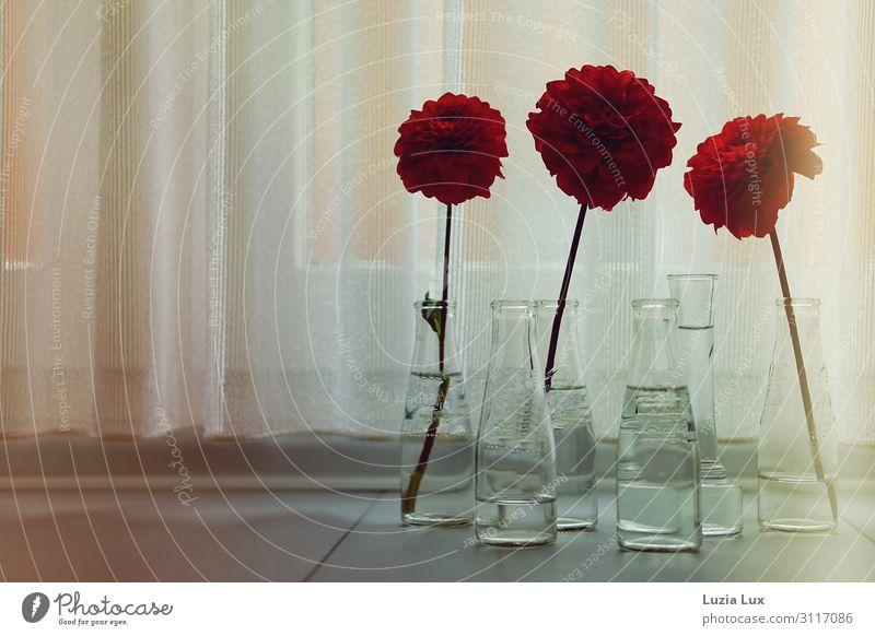 Herbstlicht oder 3x rot Pflanze Blume Blüte Fenster Glas schön retro Stimmung Fröhlichkeit Herbstblumen Dahlien leuchten Vase Gardine zart Vergänglichkeit