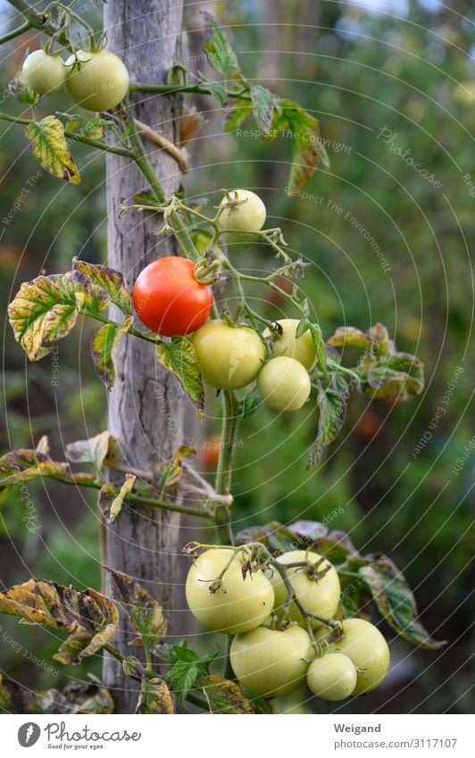 Tomaten Lebensmittel Gemüse Ernährung Bioprodukte Vegetarische Ernährung Diät Slowfood Grünpflanze Nutzpflanze Garten nachhaltig Gartenarbeit Ernte Herbst rot