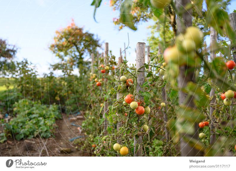Tomatengarten Lebensmittel Gemüse Salat Salatbeilage Ernährung Umwelt Natur Nutzpflanze Garten Erfolg rot Sommer reif Ernte Herbst züchten lecker Slowfood
