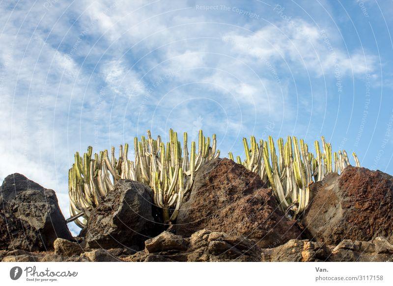 der Sonne entgegen Natur Pflanze Himmel Wolken Sommer Schönes Wetter Kaktus Felsen blau braun grün Wachstum Farbfoto mehrfarbig Außenaufnahme Menschenleer