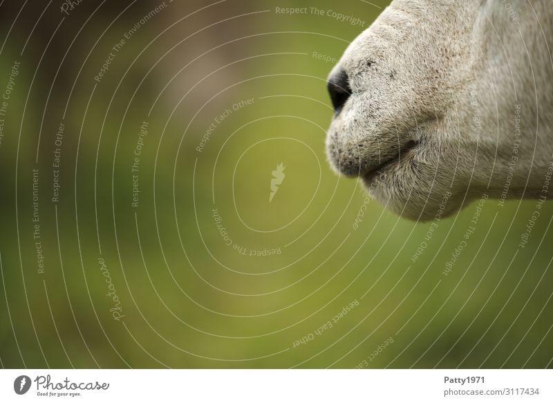 Schafsnase Nutztier Maul Nase 1 Tier natürlich braun grün weiß Gelassenheit geduldig ruhig Neugier Entschlossenheit Idylle einzigartig Natur Farbfoto