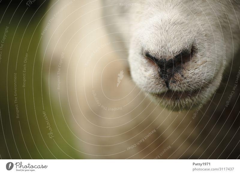 Schafsnase Tier Nutztier Nase Maul 1 natürlich braun weiß Neugier Gelassenheit Idylle einzigartig Natur ruhig Farbfoto Außenaufnahme Nahaufnahme Detailaufnahme