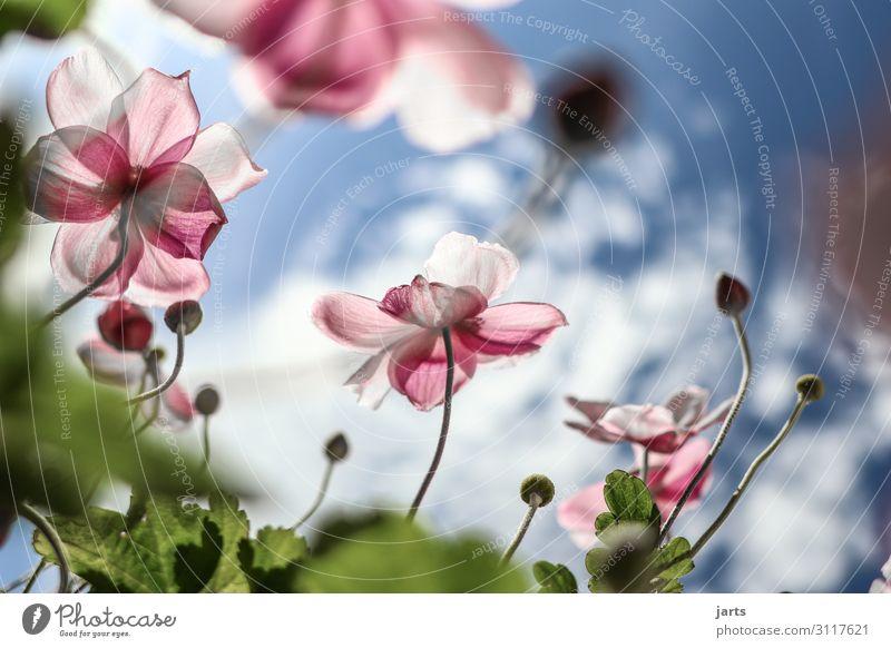 lichtblick Pflanze Himmel Wolken Sommer Herbst Schönes Wetter Blume Blühend Duft elegant frisch glänzend hell natürlich blau grün rosa Natur Herbstanemone