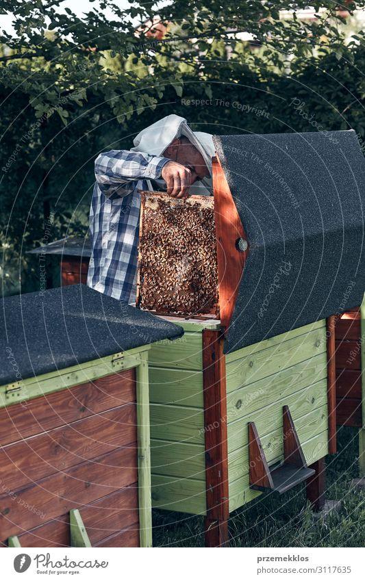 Imker, der im Bienenstock arbeitet. Lifestyle Sommer Mensch Mann Erwachsene 1 45-60 Jahre Natur Tier zeichnen authentisch natürlich Liebling Bienenzucht Imkerei
