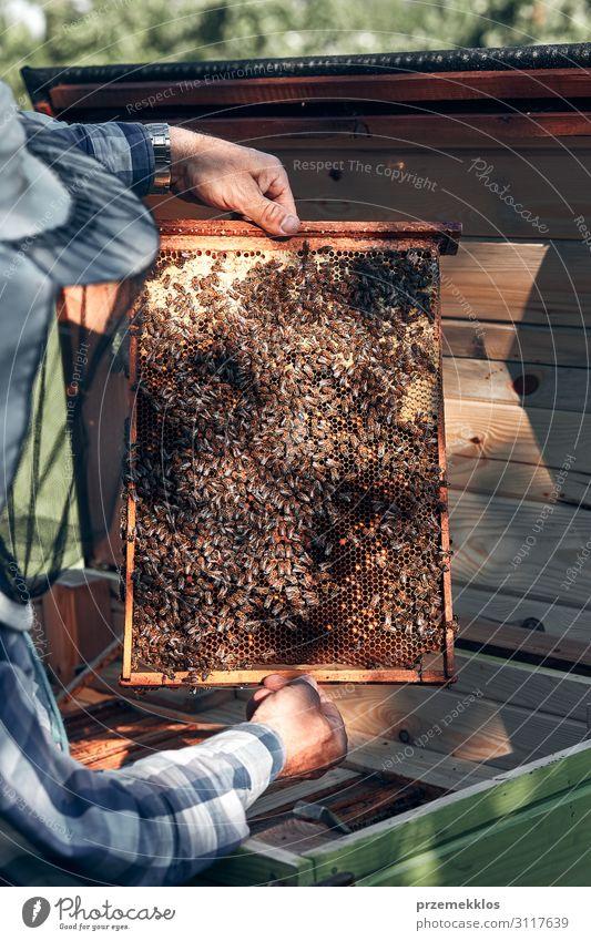 Imker, der im Bienenstock arbeitet. Lifestyle Sommer Mensch Mann Erwachsene Hand 1 45-60 Jahre Umwelt Natur Tier zeichnen authentisch natürlich Liebling