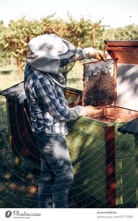 Imker, der im Bienenstock arbeitet. Lifestyle Sommer Mensch Mann Erwachsene 1 45-60 Jahre Umwelt Natur Tier zeichnen authentisch natürlich Leidenschaft Liebling