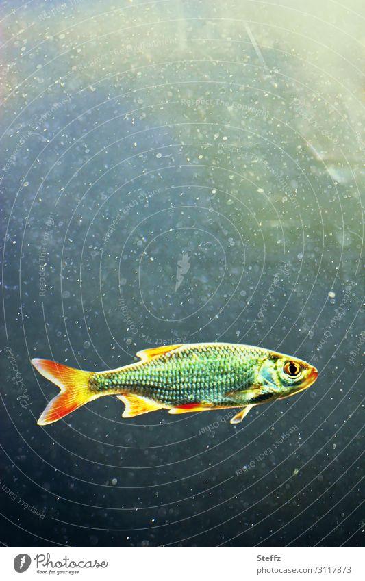 last fish swimming Umwelt Natur Urelemente Wasser Klimawandel Tier Wildtier Fisch 1 Schwimmen & Baden schön wild blau gelb grün Endzeitstimmung Einsamkeit