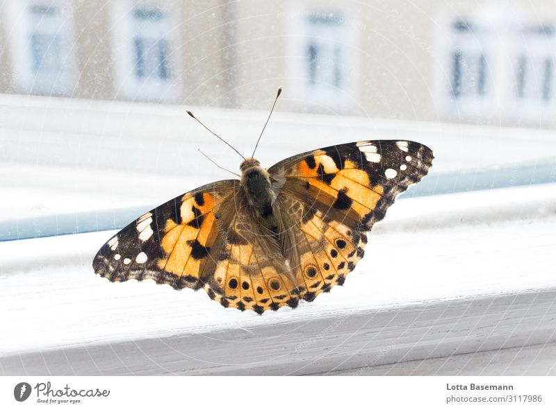 Schmetterling Tier Wildtier Flügel 1 fliegen ästhetisch schön natürlich orange schwarz gefangen Stadt Natur Leben Grenze Fenster Fensterscheibe Aussicht