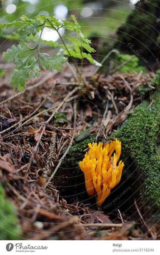 ein gelber Ziegenbart, eine Pilzart, wächst im Herbst am Waldboden Umwelt Natur Pflanze Schönes Wetter Moos Farn Wildpflanze stehen Wachstum ästhetisch