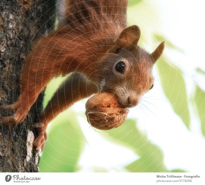 Eichhörnchen mit Nuss im Maul Natur Tier Sonnenlicht Schönes Wetter Baum Blatt Baumstamm Wald Wildtier Tiergesicht Fell Krallen Pfote Kopf Auge Nase Ohr 1