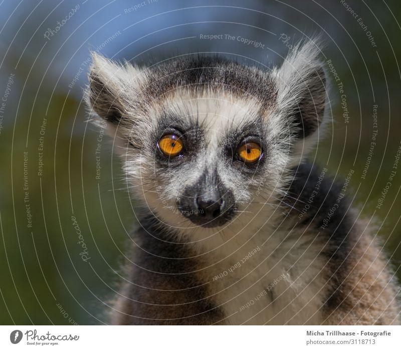 Katta mit verträumtem Blick Natur Tier Himmel Sonnenlicht Schönes Wetter Wildtier Tiergesicht Fell Halbaffen Affen Kopf Auge Ohr Nase Maul 1 beobachten glänzend