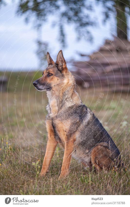 Deutscher Schäferhund Himmel Hund Pflanze grün Landschaft Baum Wolken Tier Herbst gelb Umwelt Wiese Gras Garten braun grau