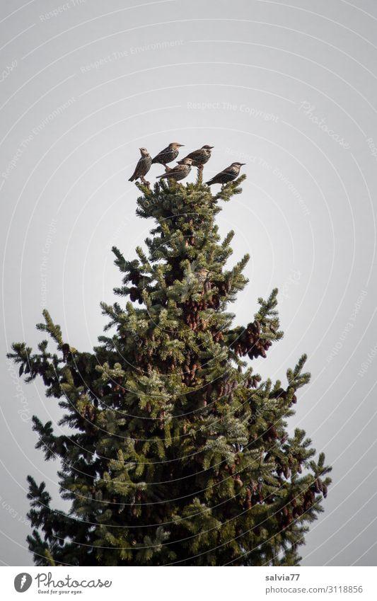 Spitzenposition Umwelt Natur Landschaft Pflanze Baum Tanne Fichte Nadelbaum Park Wald Tier Vogel Star Zugvogel Tiergruppe beobachten sitzen warten hoch oben