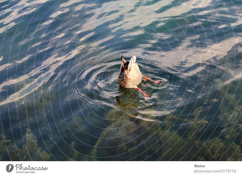 Wilde graue Ente auf dem See Tier Vogel Feder Natur Teich Wasser Entenvögel Wildtier wild Fluss Vogelgrippe Schnabel Schwimmen & Baden Im Wasser treiben tauchen