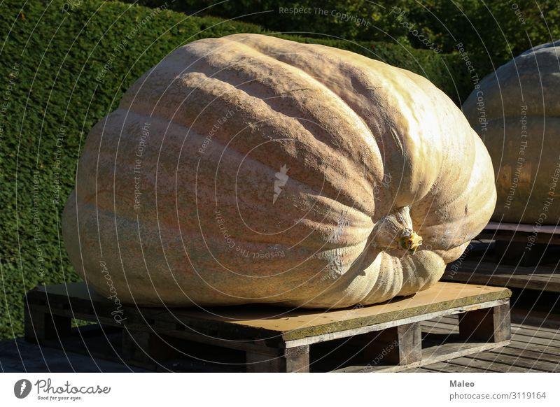 Riesiger gelber Kürbis Herbst Ernte orange Lebensmittel Halloween Jahreszeiten frisch Bauernhof Gesunde Ernährung Natur rot Gemüse Landwirtschaft Pflanze schön