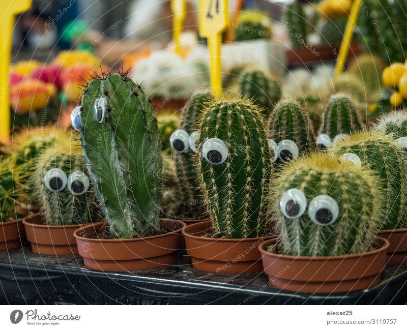 Lustiger Kaktus mit Augen auf einem Markt kaufen Design schön Garten Dekoration & Verzierung Natur Landschaft Pflanze Wachstum hell lustig natürlich gelb grün