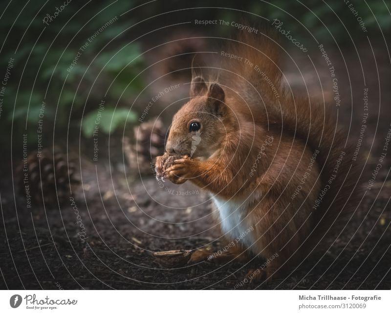 Eichhörnchen frisst Nuss Natur Tier Sonnenlicht Blatt Wald Wildtier Tiergesicht Fell Krallen Pfote Kopf Auge Ohr Schwanz 1 Fressen sitzen nah niedlich braun