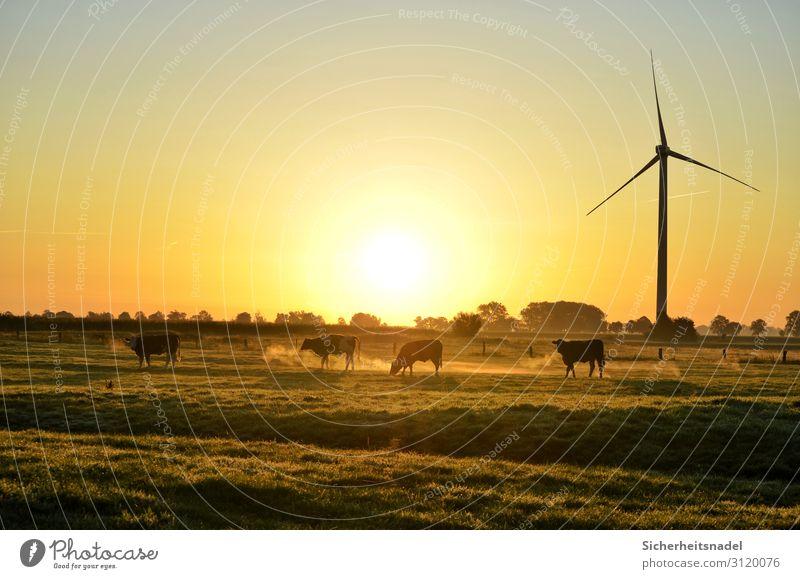 Kühe bei Sonnenaufgang Landschaft Herbst Schönes Wetter Wiese Nutztier Kuh 4 Tier Herde gold Zufriedenheit Windrad Farbfoto Außenaufnahme Textfreiraum oben