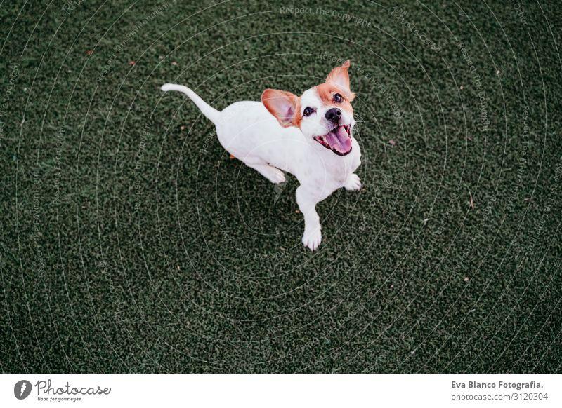 süßer kleiner Jack-Russell-Terrier-Hund, der spielbereit im Freien sitzt. Glücklicher Hund bei Sonnenuntergang. Haustiere im Freien Spielen Freundschaft Freude
