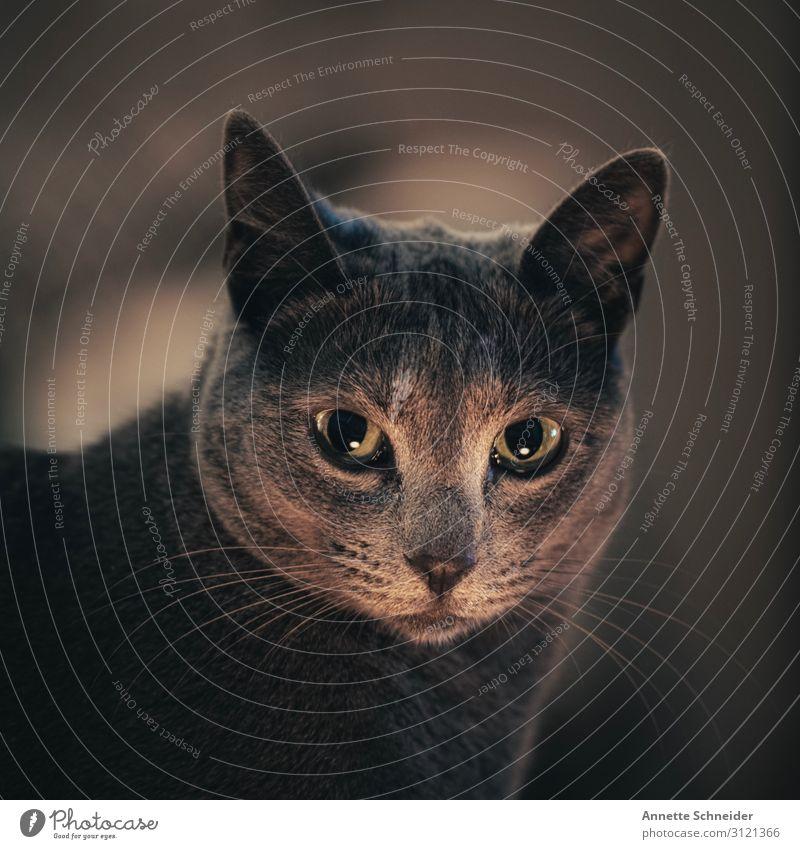 Big eyes Tier Haustier Katze 1 grau Überraschung Gedeckte Farben Innenaufnahme Hintergrund neutral Abend Tierporträt Blick in die Kamera