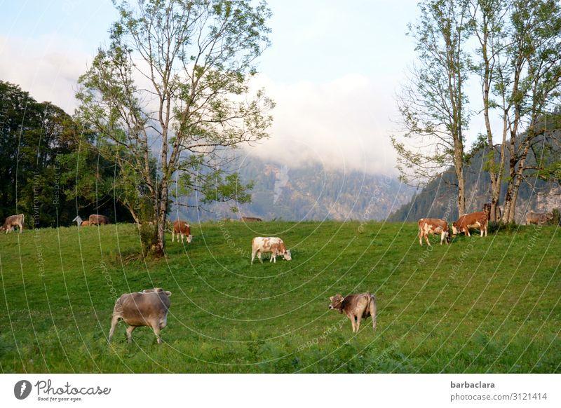 weitsichtig | Alpenpanorama Landschaft Himmel Sommer Herbst Wiese Wald Berge u. Gebirge Allgäuer Alpen Kuh Tiergruppe Fressen stehen frisch hell grün Stimmung