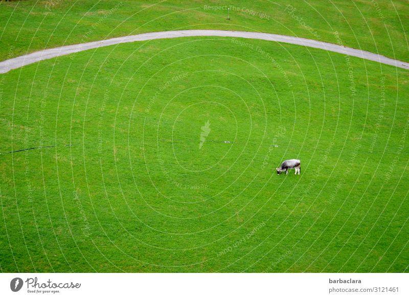 Gras en masse Natur Landschaft Wiese Straße Wege & Pfade Kuh 1 Tier Fressen genießen stehen grün Zufriedenheit Freiheit Klima Überleben Umwelt Ferne Farbfoto