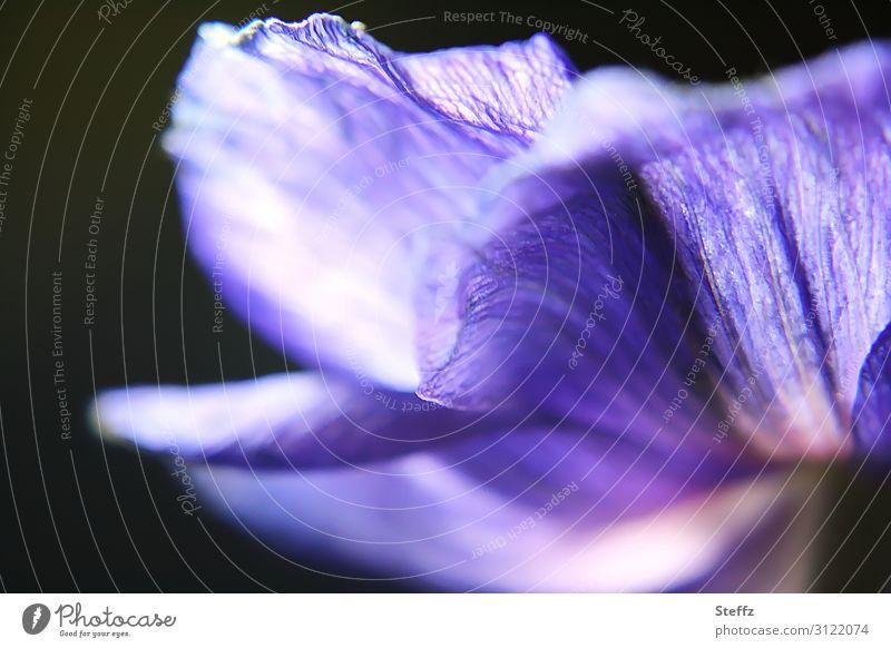 Stimmungsfarbe Natur Pflanze schön Blume Blüte Frühling natürlich Garten außergewöhnlich elegant ästhetisch Romantik Blühend einzigartig violett