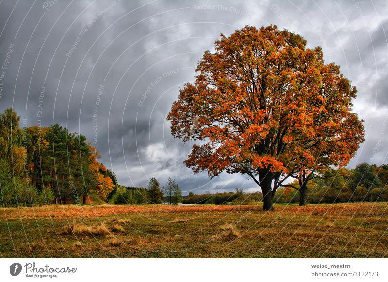 Orangene Herbsteichen auf der Wiese. Goldene Herbstlandschaft Umwelt Natur Landschaft Luft Himmel Wolken Gewitterwolken Klima Klimawandel Wetter
