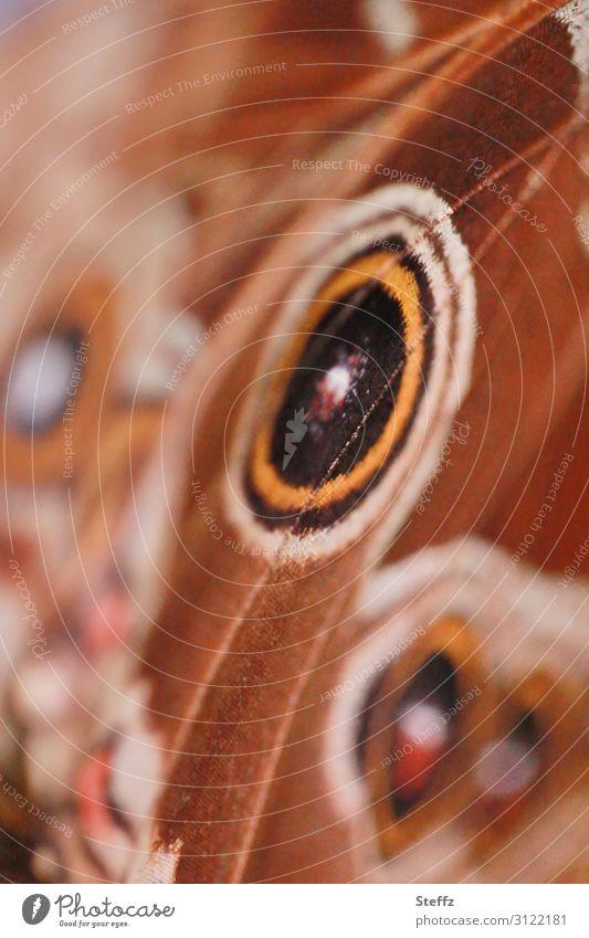 eye spots Umwelt Natur Sommer Schmetterling Flügel Edelfalter Augenfalter ästhetisch nah natürlich rund schön braun orange Design Symmetrie Muster