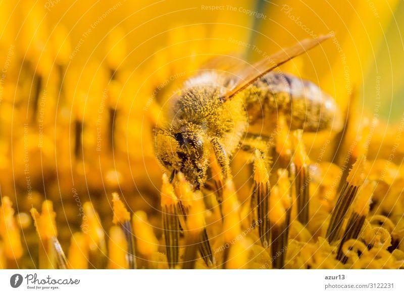 Honey bee covered with yellow pollen collecting sunflower nectar Sommer Umwelt Natur Sonne Klima Klimawandel Pflanze Garten Wiese Feld Tier Nutztier Biene 1
