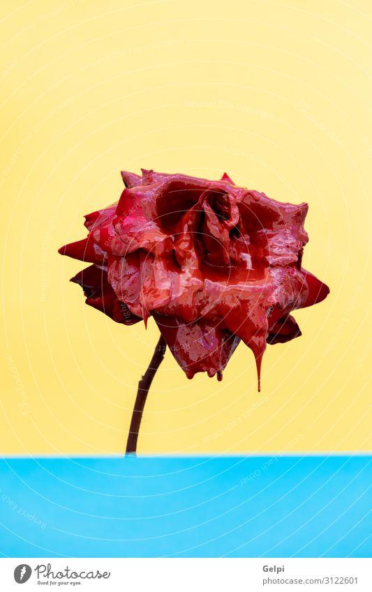Rote Rose Nahaufnahme mit geöffneten Blättern schön Sommer Garten Dekoration & Verzierung Feste & Feiern Hochzeit Geburtstag Natur Pflanze Blume Blatt Blüte