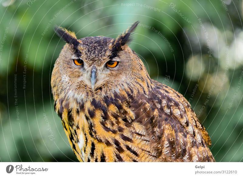Königskauz schön Natur Tier Wald Vogel Flügel klein lustig natürlich niedlich wild braun gelb gold grün schwarz weiß Tierwelt Waldohreule Beute Raubtier sonnig