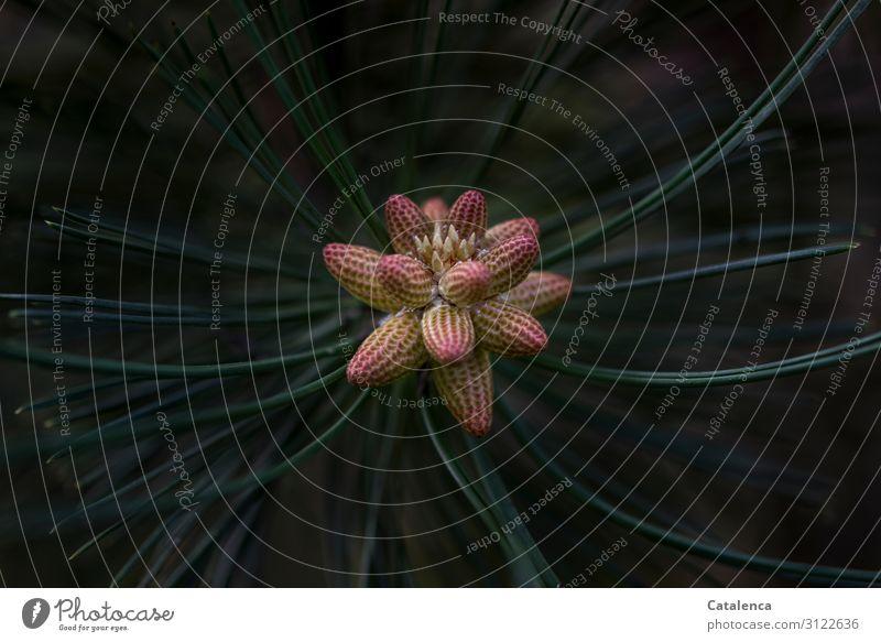 Kieferblüte Natur Pflanze Frühling Kiefernnadeln Kieferzapfen Wald Blühend Duft Wachstum schön braun grün schwarz Hoffnung Beginn Energie Überleben Umwelt
