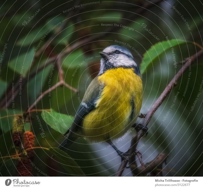 Blaumeise in der Dämmerung Natur Tier Sonnenlicht Baum Blatt Zweige u. Äste Wildtier Vogel Tiergesicht Flügel Krallen Meisen Kopf Schnabel Auge Feder gefiedert