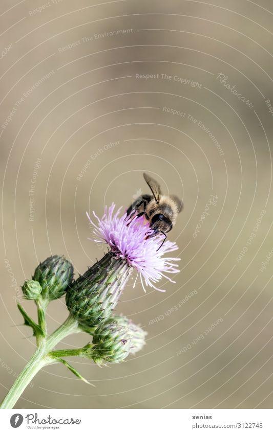 Biene an Distel Natur grün Blume Tier Umwelt Blüte klein Garten braun rosa wild Park Wildtier Sammlung fleißig
