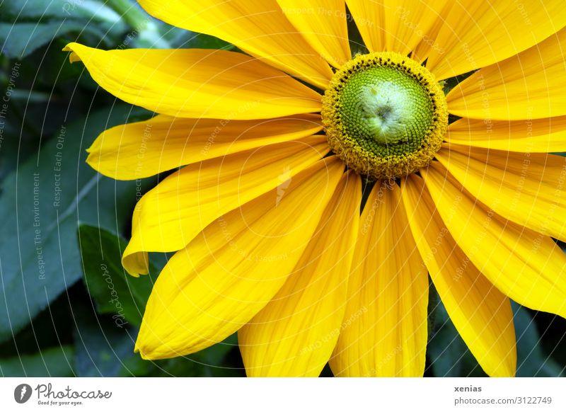 gelbe Rudbeckia mit grünen Blättern Sonnenhut Blume Blüte Blütenblatt Natur Pflanze Sommer Herbst Garten Park Blühend groß schön Stauden Außenaufnahme