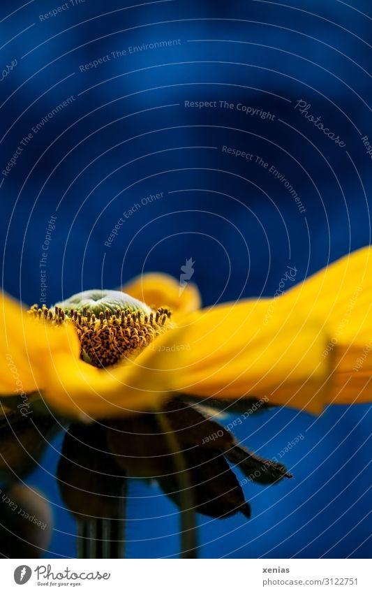 Gelbe Rudbeckia vor blauem Hintergrund Blüte Sonnenhut Blume Sommer Herbst Blühend groß gelb grün Studioaufnahme Detailaufnahme Makroaufnahme