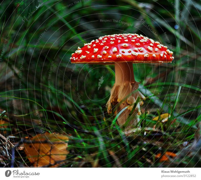 Ein Männlein steht im Walde ...... Lebensmittel Umwelt Natur Pflanze Herbst Gras Pilz Fliegenpilz Wachstum exotisch grün rot weiß Gift Farbfoto Außenaufnahme