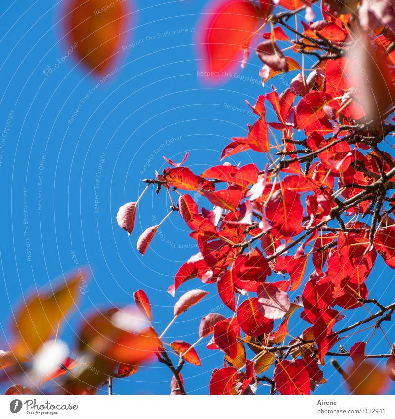 in der goldenen Herbsteszeit Himmel Wolkenloser Himmel Schönes Wetter Baum Blatt Nutzpflanze Herbstlaub Zweige u. Äste Birnbaum Birnbaumblatt hängen leuchten