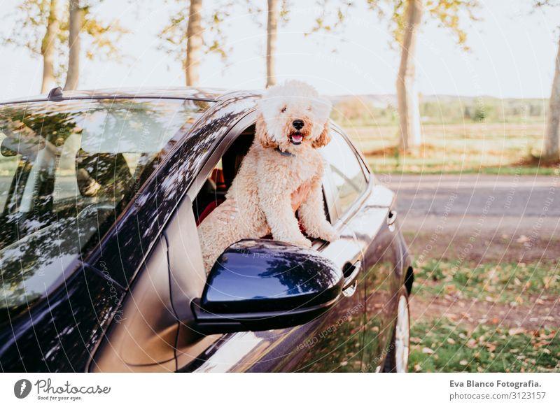 junge kaukasische Frau mit ihrem Pudelhund in einem Auto. Reisekonzept. Lebensstil und Haustiere Jugendliche Sonnenuntergang Feld Lifestyle lässig Gegenlicht