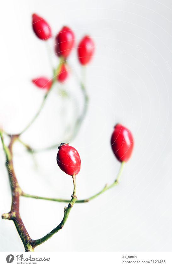 Hagebutten Lifestyle Innenarchitektur Dekoration & Verzierung Erntedankfest Umwelt Natur Herbst Winter Pflanze Sträucher Beeren Frucht Blumenstrauß leuchten