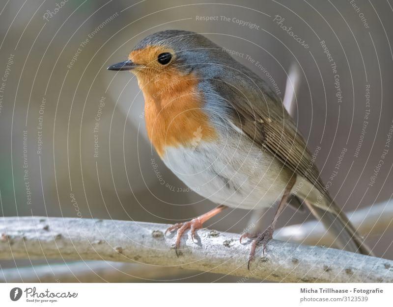 Rotkehlchen im Sonnenschein Natur Tier Sonnenlicht Schönes Wetter Baum Zweige u. Äste Wildtier Vogel Tiergesicht Flügel Krallen Kopf Schnabel Auge Feder