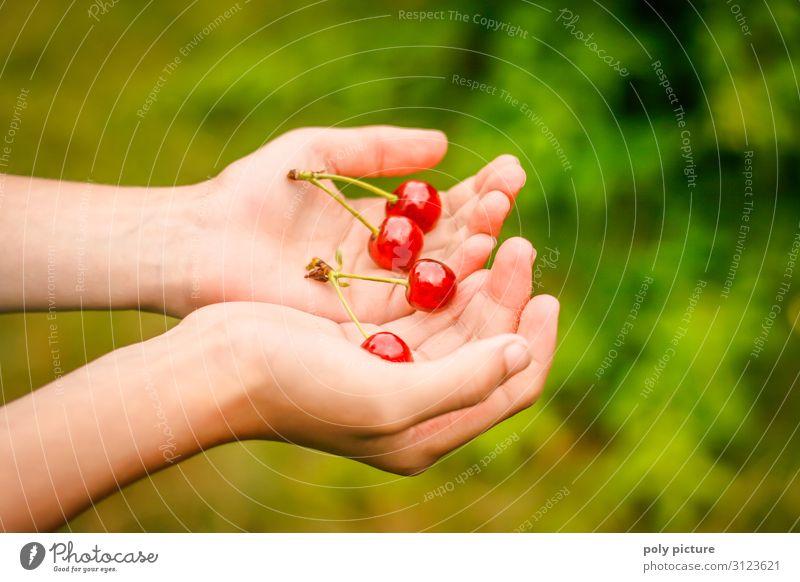 zwei Hände halten 2 frisch gepflückte Päarchen von Kirschen grün Nutzpflanze Natur Sommertag selbstversorgung Obstbaum Deutschland Schrebergarten Garten Hand