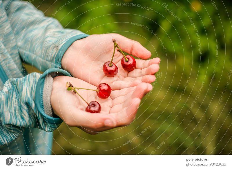 zwei Hände halten 2 Päarchen von Kirschen frisch gepflückt grün Nutzpflanze Natur Sommertag selbstversorgung Obstbaum Deutschland Schrebergarten Garten Hand