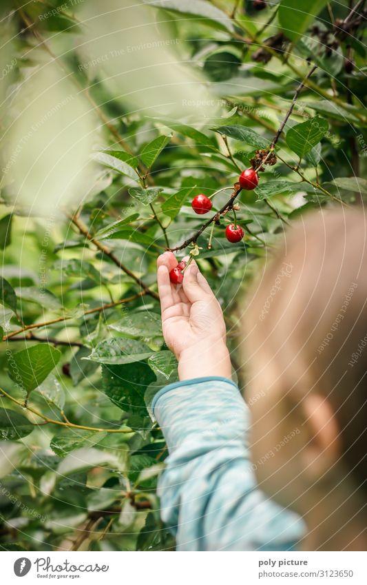 Junges Mädchen pfückt Kirschen im Garten Schwache Tiefenschärfe Unschärfe Detailaufnahme Nahaufnahme Außenaufnahme Farbfoto Klimaschutz regionale Produkte